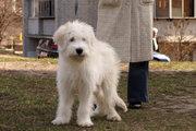 Лучший щенок Южнорусской овчарки