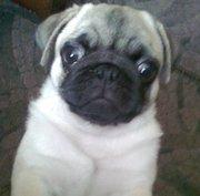Продам щенка мопса ( с родословной)