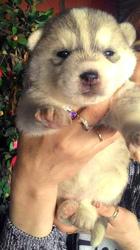 Продаются породистые очень красивые щенки СИБИРСКОЙ ХАСКИ.